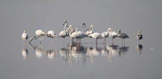 Стадо большого фламингоа (Phoenicopterus Ruber) Стоковые Изображения