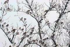 Стадо воробьев в зиме стоковое фото
