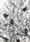 Стадо воробьев в зиме Стоковая Фотография