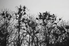 Стадо ворон сидя на ветвях дерева Стоковые Фото