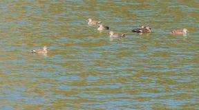 Стадо восточных Пятн-представленных счет уток в реке Стоковое Фото