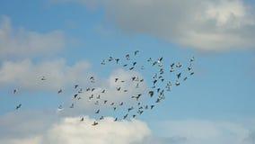 Стадо голубей на голубом небе с пушистыми облаками - голубиные Стоковое Фото