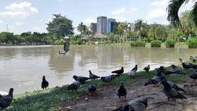 Стадо голубя в парке в городе Стоковые Изображения