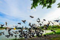 стадо голубя летания на парке в городке, Таиланде Стоковая Фотография