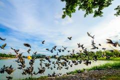 стадо голубя летания на парке в городке, Таиланде Стоковое Изображение RF