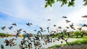стадо голубя летания на парке в городке, Таиланде Стоковые Изображения RF