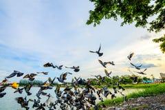 стадо голубя летания на парке в городке, Таиланде Стоковое фото RF