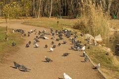 Стадо голубя на береге озера в парке Стоковые Фотографии RF