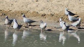 Стадо голубя черепахи - одичалые птицы от Африки - сила в единстве Стоковое Изображение