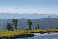 Стадо гусынь летая над рекой вилки буйвола, Moran, Вайомингом Стоковое Изображение RF