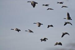 Стадо гусынь Канады летая в голубое небо Стоковое Фото
