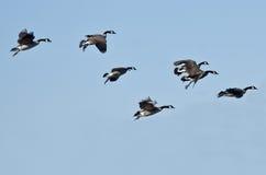 Стадо гусынь Канады летая в голубое небо Стоковое Изображение RF