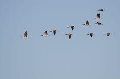 Стадо гусынь Канады летая в голубое небо Стоковые Фото