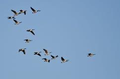 Стадо гусынь Канады летая в голубое небо Стоковая Фотография RF