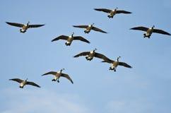 Стадо гусынь Канады летая в голубое небо Стоковые Фотографии RF