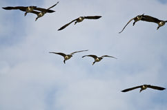 Стадо гусынь Канады летая в голубое небо Стоковые Изображения RF