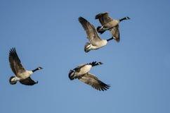 Стадо гусынь Канады летая в голубое небо Стоковое Изображение