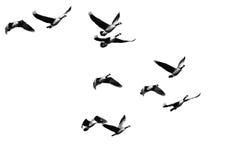 Стадо гусынь Канады летая на белую предпосылку Стоковое Фото
