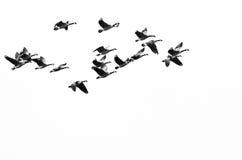Стадо гусынь Канады летая на белую предпосылку Стоковое фото RF
