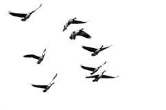 Стадо гусынь Канады летая на белую предпосылку Стоковая Фотография