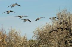 Стадо гусынь Канады приходя внутри для посадки в болоте Стоковые Фотографии RF