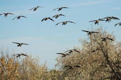 Стадо гусынь Канады приходя внутри для посадки в болоте Стоковое Изображение RF