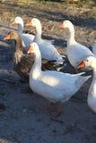 Стадо гусынь на дворе птицы Стоковое Изображение RF