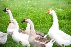 Стадо гусынь пася на зеленой траве в деревне Стоковые Фото