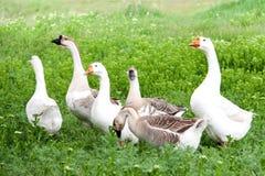 Стадо гусынь пася на зеленой траве в деревне Стоковые Фотографии RF