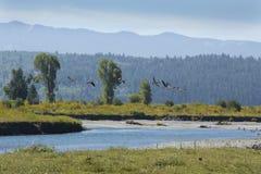 Стадо гусынь принимая полет, реку буйвола, Jackson Hole, Wyomi стоковая фотография rf