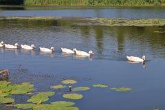 Стадо гусынь плавая вдоль реки Стоковые Фотографии RF