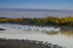 Стадо гусынь плавая на реке рано утром в Стоковое Изображение
