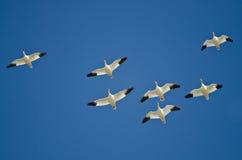 Стадо гусынь снега летая в голубое небо Стоковое Изображение