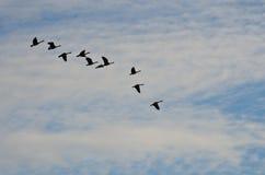 Стадо гусынь Silhouetted против облачного неба Стоковые Фото