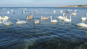 Стадо лебедей в заливе моря видеоматериал