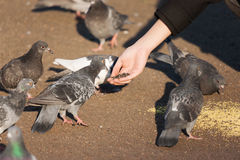 Стадо девушки подавая голубей Стоковая Фотография RF