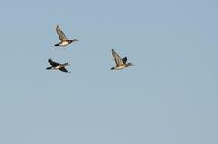 Стадо деревянных уток летая в голубое небо Стоковые Изображения RF