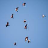 Стадо летания Galahs австралийца Стоковые Изображения RF