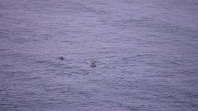 Стадо дельфинов скачет видеоматериал