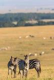 Стадо зебр на саванне Стоковые Изображения