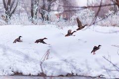 Стадо диких уток на реке зимы Стоковое Изображение RF