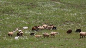 Стадо идти коз овец овец сток-видео