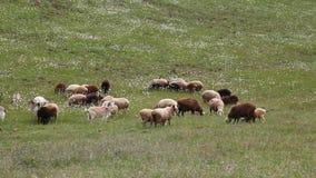 Стадо идти коз овец овец акции видеоматериалы