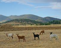 Стадо коз пася с предпосылкой облачного неба Стоковые Изображения