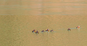 Стадо мандарина с 2 восточными Пятн-представленными счет утками Стоковые Фото