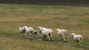Стадо овец - видео запаса видеоматериал