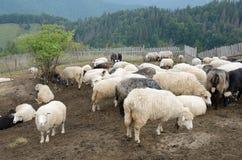 Стадо овец в прикарпатских горах стоковое фото