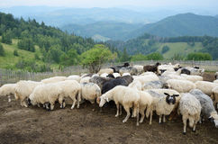 Стадо овец в прикарпатских горах стоковое изображение