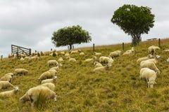 Стадо овец засевая травой на Omana Окленде Новой Зеландии; Региональный парк Стоковое Изображение RF