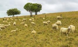 Стадо овец засевая травой на Omana Окленде Новой Зеландии Стоковая Фотография